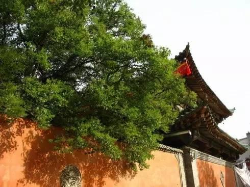 塔尔寺的白旃檀树