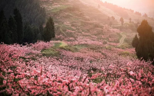 """巍峨雪山和清丽柔美的野桃花是完美配搭  有""""藏江南""""之称的林芝,野生桃花林绵延百里,总面积超过500亩。每年3月中旬至4月初林芝漫山遍野的桃花开始铺满山坡,绵延至河谷。  古朴苍虬的百年、千年野生桃树上盛开着密密匝匝、层层叠叠的嫩蕊繁花,与蓝天、雪山和翠绿相互映衬,勾勒出一副遗落在人间秘境的动人画卷。  大株的桃花树如同桃花仙子,簇立在尼洋河畔,雪山之下,与云朵相拥,形成密集的桃林。漫步其中,可见雪峰耸立,桃花怒放,清泉嬉戏,藏寨悠然,美到令人窒息。  雅鲁藏布江大峡谷之春,素以雪山映桃花而闻名,峡谷"""