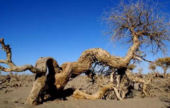 胡楊林,樹木千年不死,死后千年不倒,倒后千年不腐。