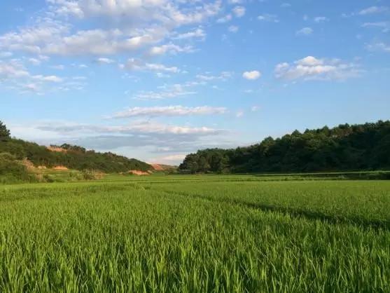 """""""水稻田也是一种湿地和美景""""。"""