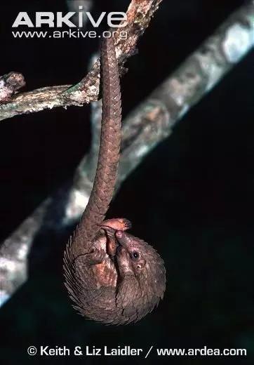 长尾巴的树穿山甲