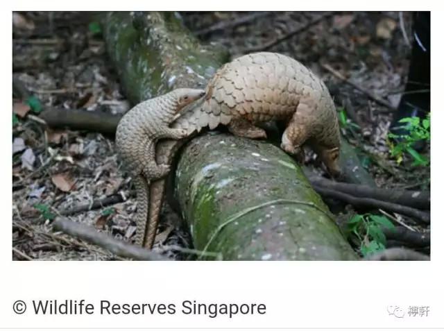 这种可爱的动物一年只能生育一胎,自然界中的穿山甲靠吃白蚁等生存.
