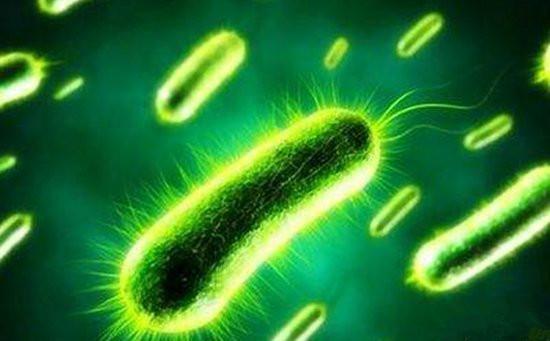 铜绿假单胞菌(绿脓杆菌)